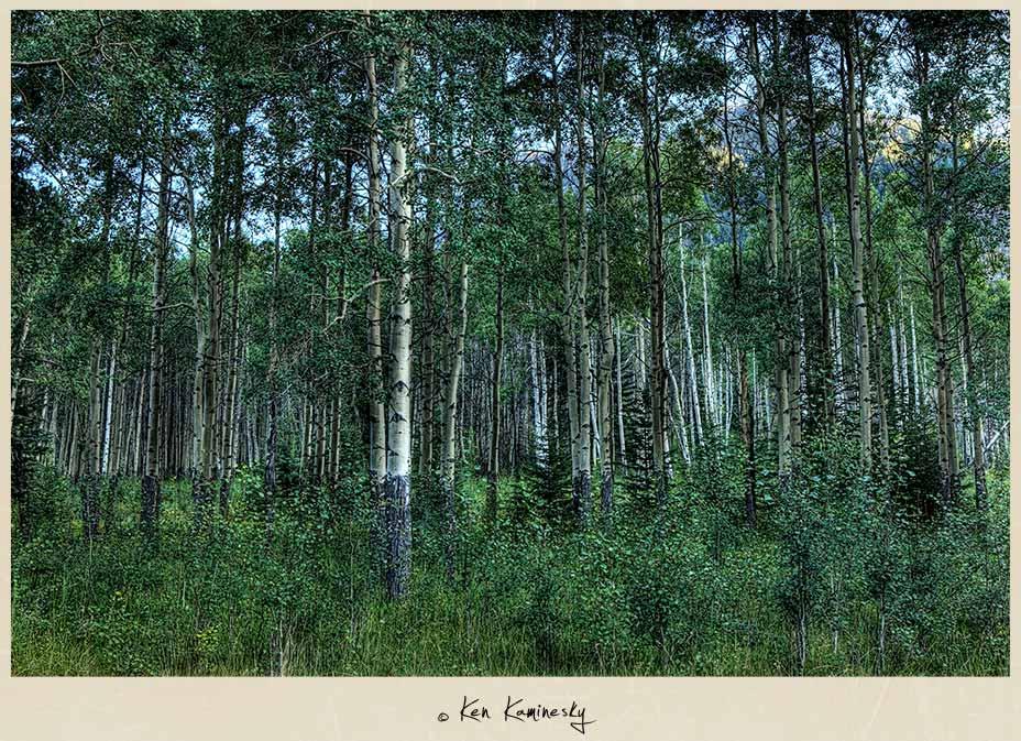 Aspen trees in Banff National Park
