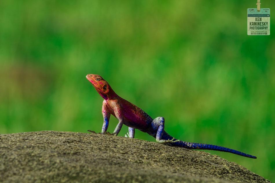 rainbow agama lizard