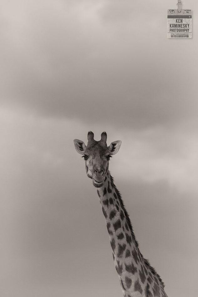 giraffe in Terengire National Park