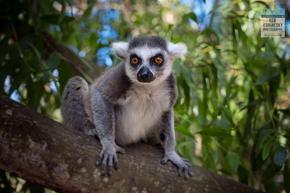 Lemur from Madagascar