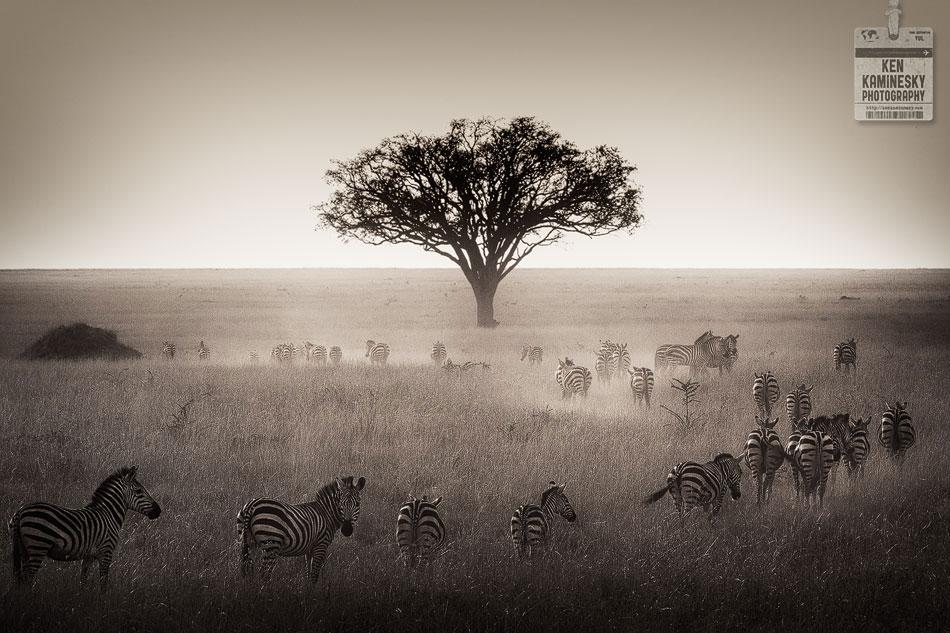 Herd of zebra at sunset